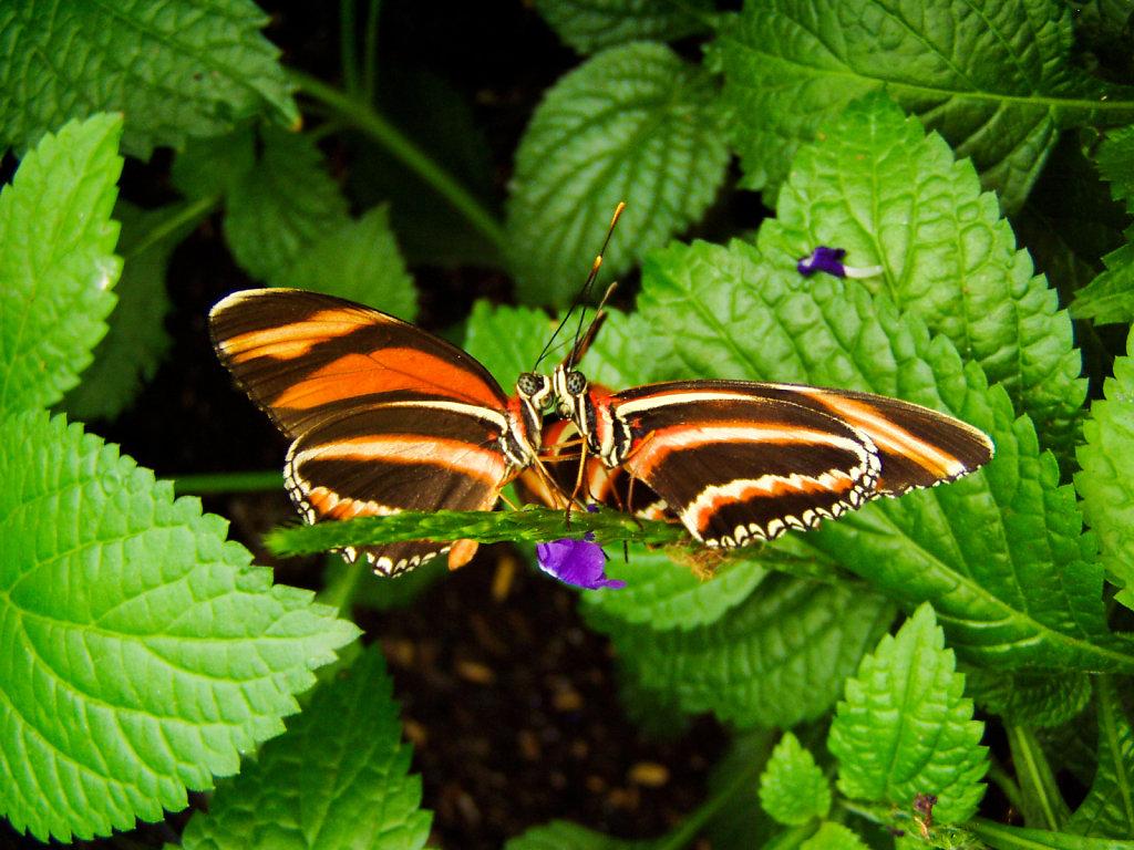 Love (Butterflies Kissing)
