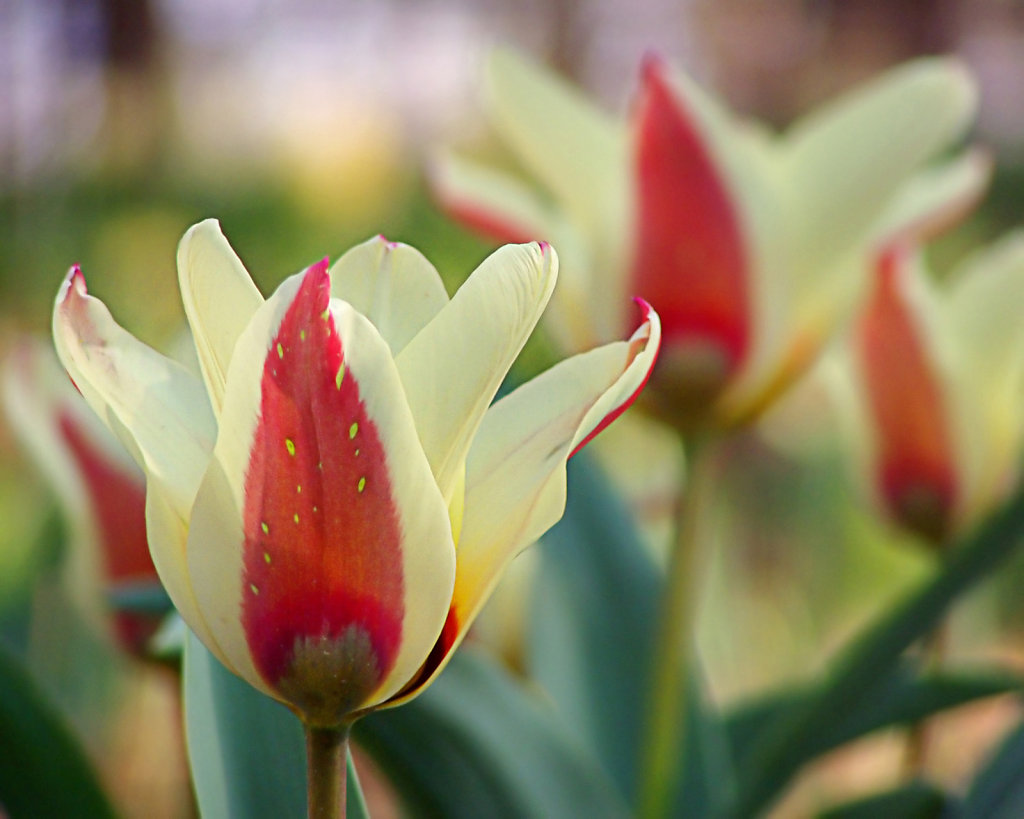 Graceful Tulips